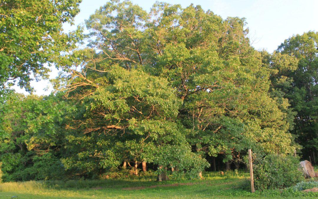 Delight Among the Oak Leaves